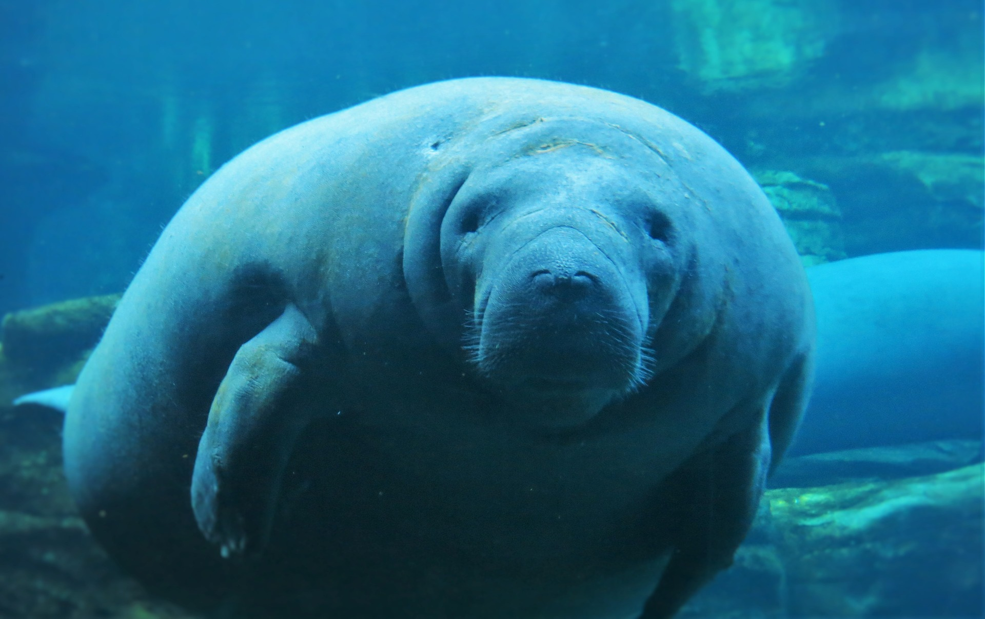Tabasco's mysterious manatee crisis: What's affecting the ecosystem?