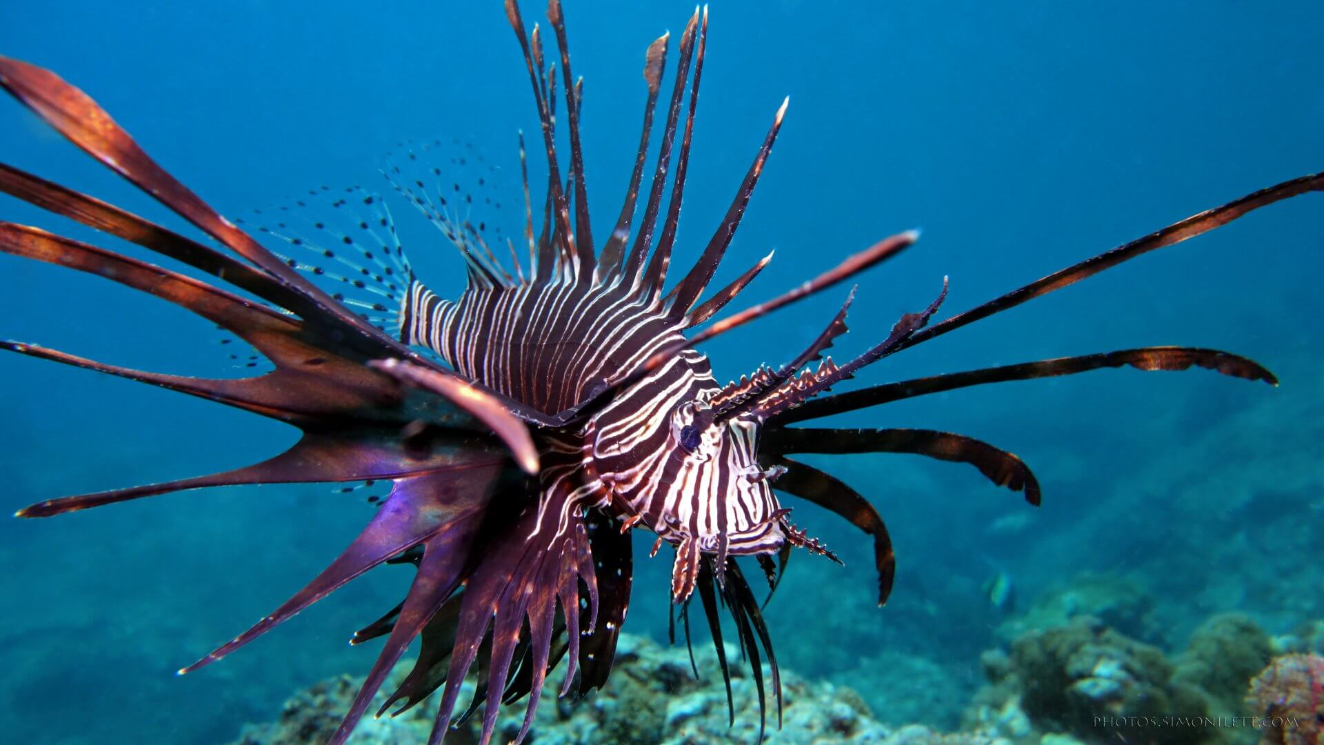 Lionfish invades Mexico: A (different) tale of controversial immigration