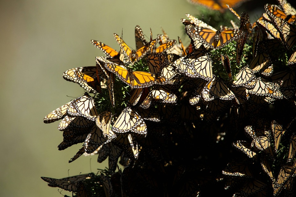 Number of Monarch Butterflies migrating to Mexico increase, but can this be sustained?